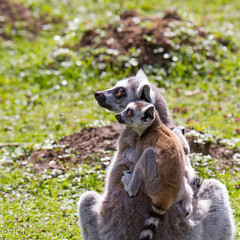 Parc des flins (Oric1) Tags: france canon maki 150 lemur 600 tamron iledefrance seineetmarne catta lmurien parcdesflins nesles oric1