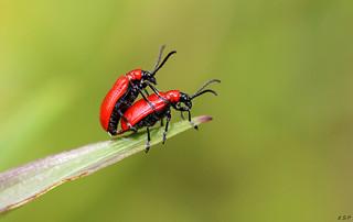 Lily Beetle ( Lilioceris lilii )