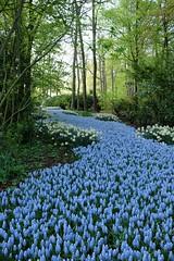 Chef d'oeuvre de jardinier ** (Titole) Tags: park blue trees garden many thenetherlands paysbas parc muscari keukenhof grapehyacinths thechallengefactory titole photoquestchallenge nicolefaton