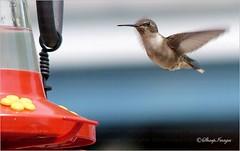Hummingbird-Leaving (sh10453) Tags: usa birds michigan wildlife hummingbirds oakpark