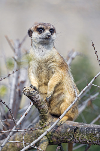 Meerkat posing on the tree