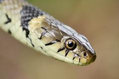 Grass Snake (Kentish Plumber) Tags: uk nature countryside kent europe reptile snake wildlife southeast southernengland weald grasssnake natrixnatrix herpetofauna nbw