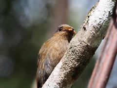 Large Niltava - Female (WilliamPeh) Tags: wild bird birds animal feeding outdoor wildlife birding large olympus explore omd em5 niltava