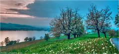 Sempachersee (Hanspeter Ryser) Tags: flowers trees lake art water clouds cherry switzerland see wasser wolken blumen bume vogelsang sempachersee sursee blust schenkon kirschblhten
