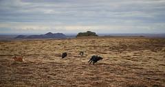 4mai_Thorbjorn_019 (Stefn H. Kristinsson) Tags: dog mountain dogs iceland spring hiking may ma vor hundur sland ganga fjallganga tamron2875mm grindavk hundar grindavik orbjrn nikond800 thornbjorn orbjarnarfell