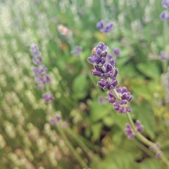 Lavender blooming (lydiafairy) Tags: plant flower green nature spring phone bokeh sunday lavender