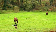 (MATIGRA) Tags: autumn trees horses horse dogs canon landscape cheval brittany sheepdog bretagne arbres bordercollie prairie 29 paysages chiens bzh finistere cheveaux chiendeberger 700d henvic
