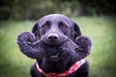 I moustache you a question (windermereimages1) Tags: dog pets black love garden puppy fun toy labrador moustache