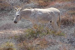Hausesel (Equus africanus) (2), NGIDn1450564097 (naturgucker.de) Tags: jandia naturguckerde calmutmartens hauseselequusafricanus ngidn1450564097
