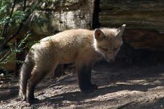 Renardeau (Bloui) Tags: baby animal mammal cub spring montral qubec fox april botanicalgarden jardinbotanique redfox vulpesvulpes renardeau renard 2016 renardroux eos7d