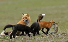 DB6_9390 (DouglasJB) Tags: cuteness foxes playful djbphotocom