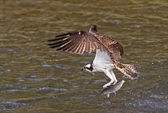 Osprey: Pandion haliaetus (renzodionigi) Tags: birds maine aves uccelli raptors alewife naturephotography pandion rapaci accipitriformes falcopescatore alosa pandionidae