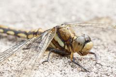 dragonfly  (hiroshi_arai) Tags: macro nature japan canon insect dragonfly  macrolens  60d