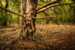 Southern Red Cedar (MichaelSOwens) Tags: park beach state florida fort southern mature bark trunk hdr redcedar fernandina clinch