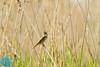 Great Reed-Warbler (Acrocephalus arundinaceus)