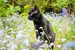 What's That Noise? (h_cowell) Tags: flowers pet sun sunshine cat blackcat panasonic 20mm macclesfield gx7