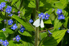 Green-veined white butterfly, feeding on bugloss (Dave_A_2007) Tags: england plant flower nature butterfly insect wildlife westmidlands wolverhampton whitebutterfly pieridae bugloss pierisnapi greenveinedwhitebutterfly