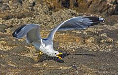 Get out of my way (GeorgeTsai 168) Tags: sea bird beach bug gull flight