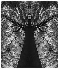 celebracin del rbol (raquel jazmn) Tags: tree bn bosque rbol
