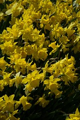 DSC_3690 (Copy) (pandjt) Tags: ca flowers canada bc britishcolumbia tulip abbotsford tulipfestival lindellbeach abbotsfordtulipfestival