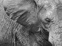 MiniUA112_6529_ElefantePB (J. D'Allambert) Tags: textura animal skin pele elefante
