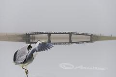 reiger bij brug (KbijK) Tags: water brug landschap mistig molens krommeniedijk