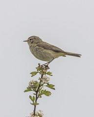 IMG_8349 (Mal.Durbin Photography) Tags: nature birds fauna wildlife insects naturereserve newportwetlands maldurbin goldcliffnewport