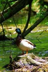 IMGP7158 (2) (Jillian Faith Photography) Tags: mallard minnehaha creek minneapolis minnesota bird
