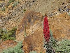 Teidi Red (Adventures of KM&G-Morris) Tags: travel red plant tourism volcano tour canaryislands rugged sooc straightoutofcamera tiedi
