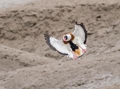Shelduck coming into land. (swanseajack2013) Tags: sea bird water duck nikon contemporary wildlife sigma estuary gower waders shelduck noth northgower d810 150600mm