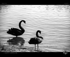 Black Swans (tomraven) Tags: blackandwhite bw lake water reflections swans blackswan v2 blackswans nikon1 tomraven aravenimage q22016