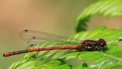 Large Red Damselfly -Pyrrhosoma nymphula - Arne RSPB reserve Dorset -060616(18) (ailognom2005 - Away for a while.) Tags: macro wildlife reserve naturalhistory dorset damselflies pyrrhosomanymphula largereddamselfly naturereserves rspbreserves dorsetwildlife arnerspbreserve britishdamselflies arnerspbdorset