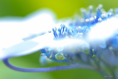 ~~ Hydrangea 26 (^^Teraon) Tags: life street trip travel plant flower primavera nature beauty japan canon photography eos spring alley bokeh flor depthoffield rainy hydrangea  tamron 90mm  m2 f28 rainyseason   bloomed   tamronspaf90mmf28di floresceu eosm2