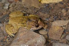 Kuhl's Creek Frog 1 (Bob Hawley) Tags: nature animals asia nocturnal wildlife taiwan kaohsiung amphibians creatures herpetology baolai ranakuhlii tokina100f28 kuhlscreekfrog bigheadedfrog limnonecteskuhlii nikond7100 kuhliswartfrog xiaoguanshanforestroad