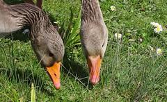 Greylag 230416 (2) (Richard Collier - Wildlife and Travel Photography) Tags: two birds geese wildlife naturalhistory british greylaggoose apair britishbirds