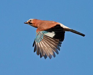 Eurasion Jay - Morning Fly By !!