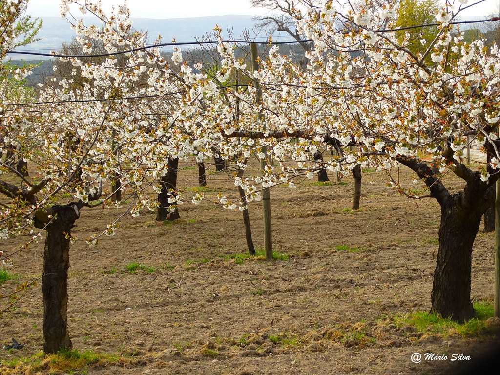 Águas Frias (Chaves) - Cerdeiras (cerejeiras) em flor ...