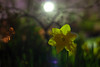 Nighttime Narcissus (T-3 Photography) Tags: longexposure light plant flower nature lamp night canon 50mm prime nocturnal maryland nighttime daffodil nocturne narcissus glenburnie annearundelcounty marylandnature 5dmarkii marylandliving