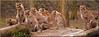 What's happening over there? (Foto Martien) Tags: cheetah cheeta huntingleopard whelp cub young jachtluipaard gepard guepardo guépard ghepardo chita acinonyxjubatus zesling ltterofsix cat kat animal wild fastestlandanimal speed speedy fast asia azië africa afrika openbiotope savannah savanne semidesert halfwoestijn thickbrush burgerszoo burgersdierenpark zoo dierenpark dierentuin safari safaripark burgerssafari netherlands nederland holland dutch veluwe gelderland arnhem geotaggedwithgps sony a77 sonyalpha77 sonyslta77v tamron70300mmf456sp martienarnhem martienuiterweerd fotomartien description information info details explanation documentation beschrijving informatie toelichting documentatie photo foto picture explore inexplore