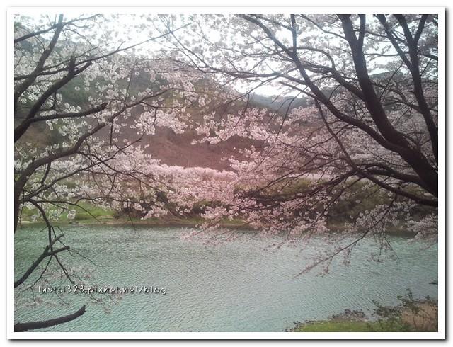 화개십리벚꽃길01