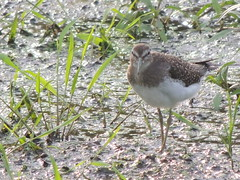 Solitary Sandpiper (Two Cats Productions) Tags: