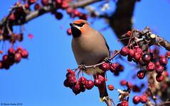 Bohemian Waxwing (Bombycilla garrulus) (Steve Arena) Tags: winter bird birds nikon newhampshire d750 newlondon waxwing songbird bombycillagarrulus bohemianwaxwing 2015 bowa passerine irruption irruptive