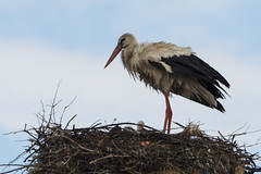hvid stork-17 (S. Nysteen) Tags: spain extremadura whitestork ciconiaciconia hvidstork saucedilla