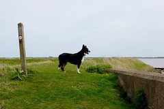 Rose (arty@nr31) Tags: walks norfolk bordercollie berneyarms wherrymansway