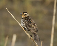Female Red-winged Blackbird (PrairieHill) Tags: bird nature female feathers elements perch redwing femaleredwingedblackbird orangethroat conicalbill streakedbreast