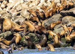 CA. SEA LIONS: 2015 (John C. Bruckman @ Innereye Photography) Tags: animal outdoor kayaking behavior description elkhornslough mosslanding status marinemammalcenter californiasealions elnio seamammal sagittalcrest montereybaycalifornia sealionpups nikond800 algalblooms spring2015 8312514008 johncbruckmaninnereyephotography johnjbruckmancom domoicacidtoxicosis httpwwwmarinemammalcenterorg descriptionmosslandingmontereybaycaliforniamatingandbreedingbehaviorstatus matingandbreeding rangeandhabitat mosslandingmontereybaycaliforniamatingandbreedingbehavior californiasealionssealionpupsalgalbloomsdomoicacidtoxicosissagittalcrestrangeandhabitatjohncbruckmaninnereyephotographyjohnjbruckmancom8312514008nikond800spring2015httpwwwmarinemammalcenterorg