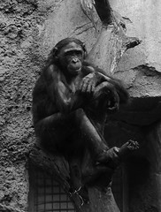 Frankfurt am Main - Zoo - Bonobo