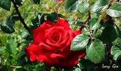 IMG_0114 (.lory.) Tags: red italy rome flower roma colors rose canon garden redrose rosa rosso rosegarden giardino rosarossa canonrebelxti canon400drebelxti rosetodiromacapitale loredanagiordano lorygio