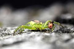 Diaea dorsata (Celimaniac) Tags: macro insect spider tinyspider diaea dorsata greencrabspider minispider minispinne nikond3s grnespinne