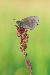 Coenonympha pamphilus (Prajzner) Tags: morning macro butterfly nikon naturallight lepidoptera manfrotto sigma105mmmacro coenonymphapamphilus smallheath macrodreams nikond7100 manfrottomt190xpro3